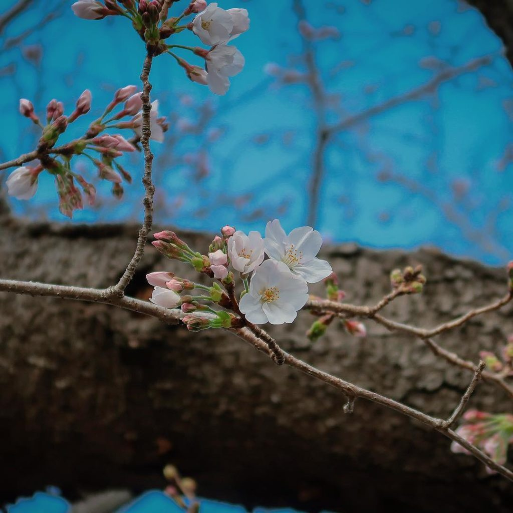 It's that time of the year  #sakura | Photo by Tokyo 2020...