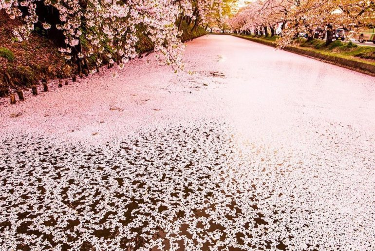 . A magical carpet of cherry blossoms covers the surface of the moat at Hirosaki...
