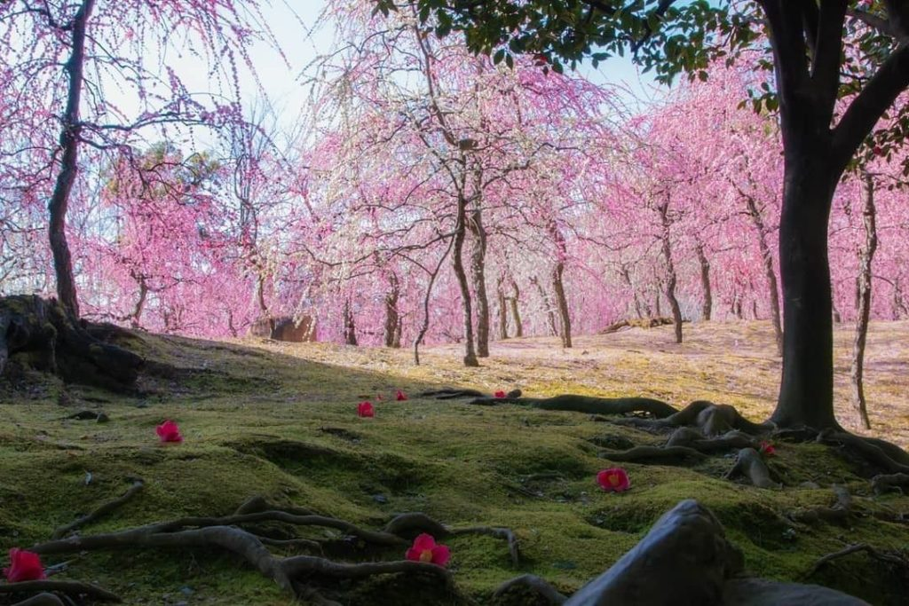 Arrived in Kyoto a little early for cherry blossoms? Then visit #Jonangu Shrine ...