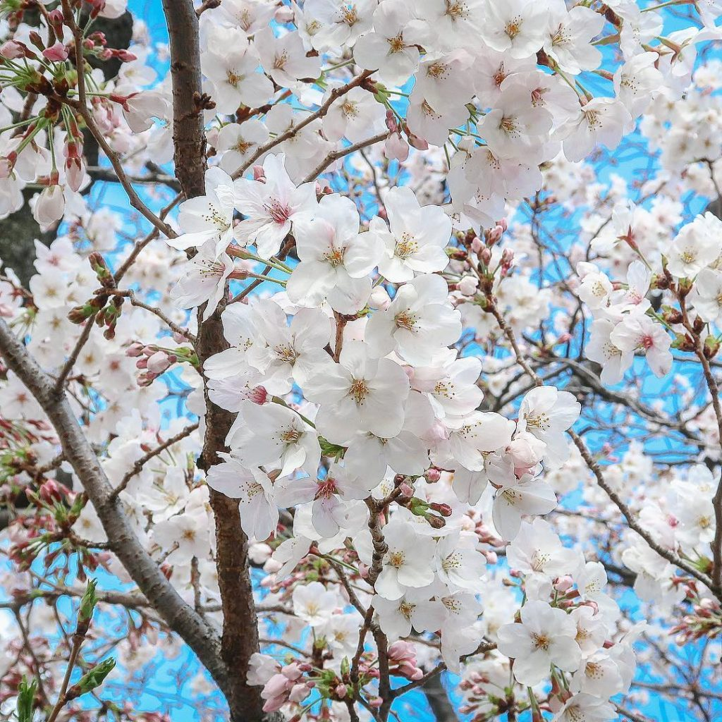 Sharing the most beautiful moment in Tokyo, #sakura in full bloom  This time nex...