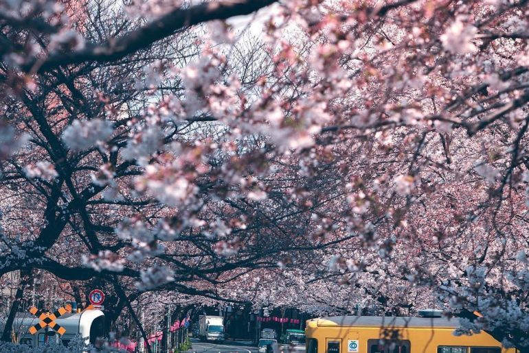 Did you catch this yellow #Seibu train  that runs by cherry blossoms in Tokyo? T...