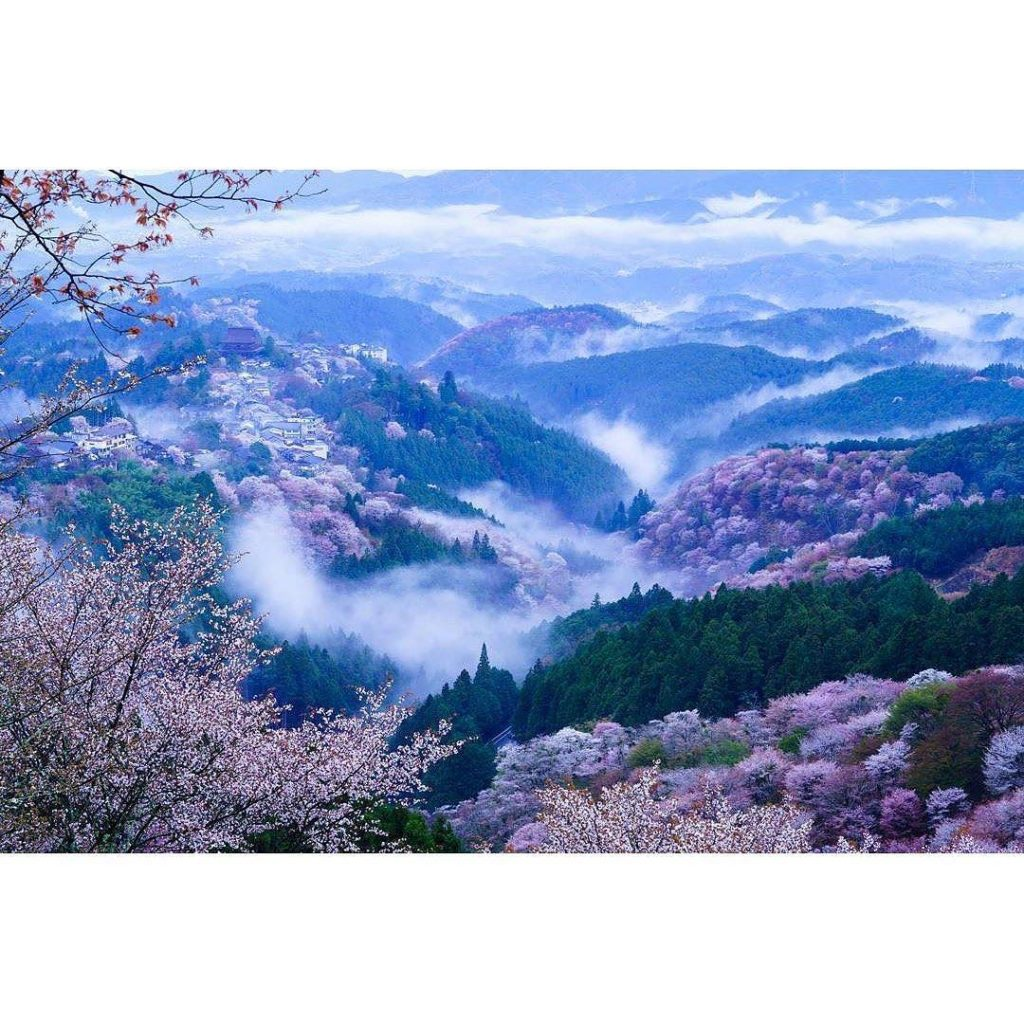 'Cherry blossoms of Yoshino' was already well known in Heian period (794-1185.) ...