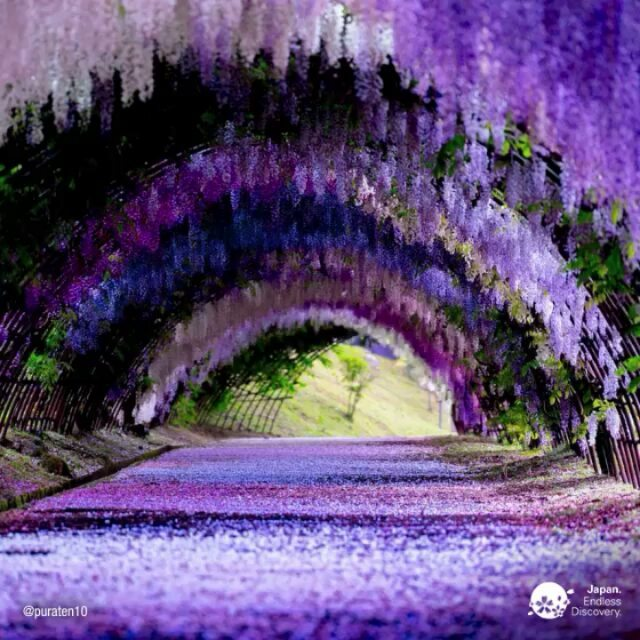 It's the time of year to plan your spring trip to the Kawachi Fuji Gardens, home...
