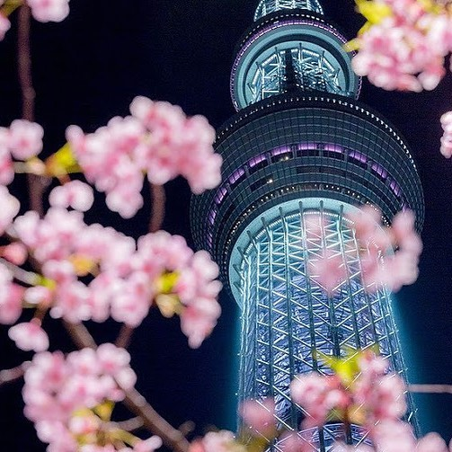 Gorgeously lit Tokyo Skytree towers over a pink early bloomer, Kawazu-zakura che...