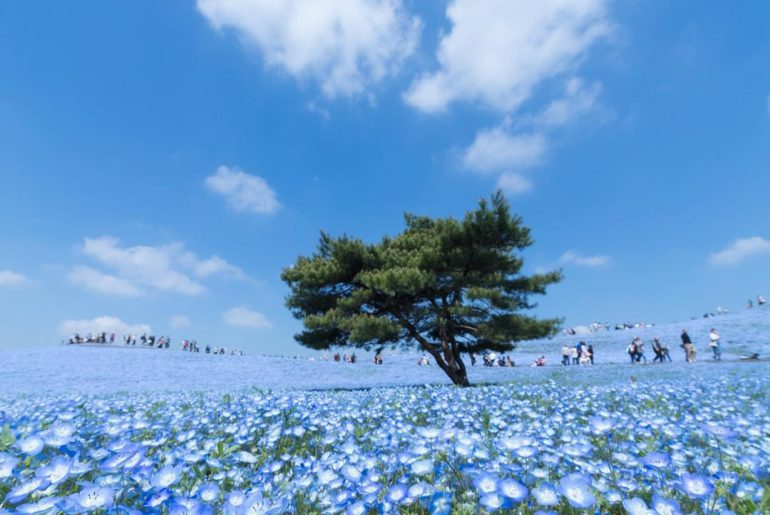 Overwhelming 4.5 million nemophila (baby blue eyes) flowers wave in the Pacific ...
