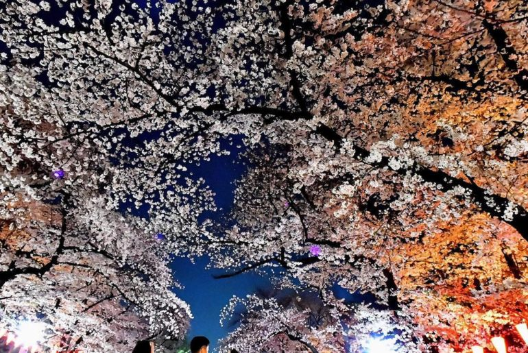 "It's the perfect time for 夜桜 (""yozakura""), or viewing cherry blossoms at night. ..."