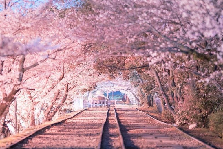 Bet you didn't know there was a beautiful cherry blossom spot like this in Kyoto...