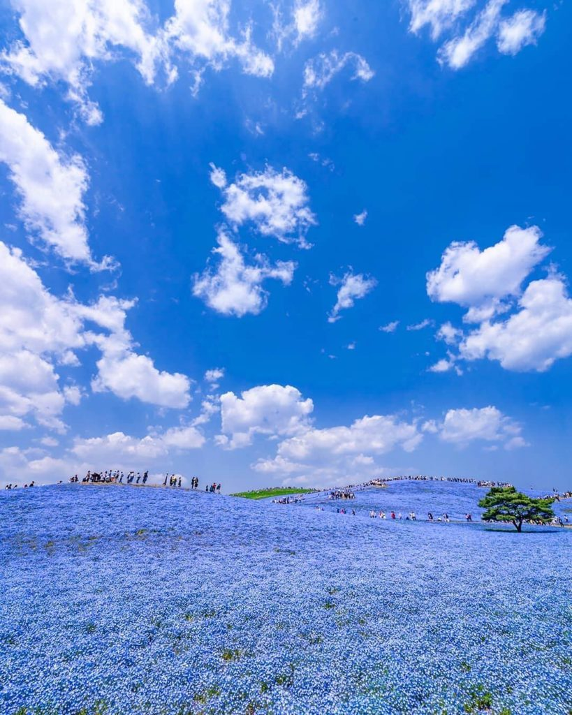 Interrupting our recent pink feed with some blue! The nemophila at Hitachi Seasi...