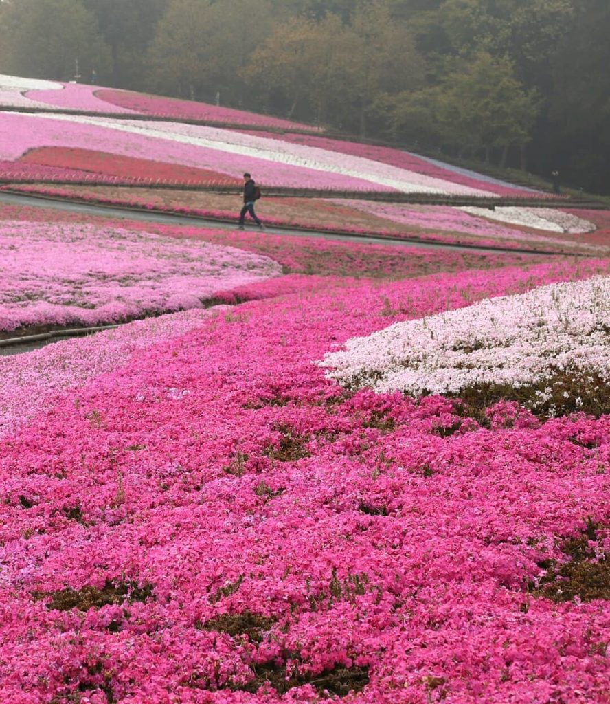 Between April and May each year witness a natural masterpiece as a carpet of ove...