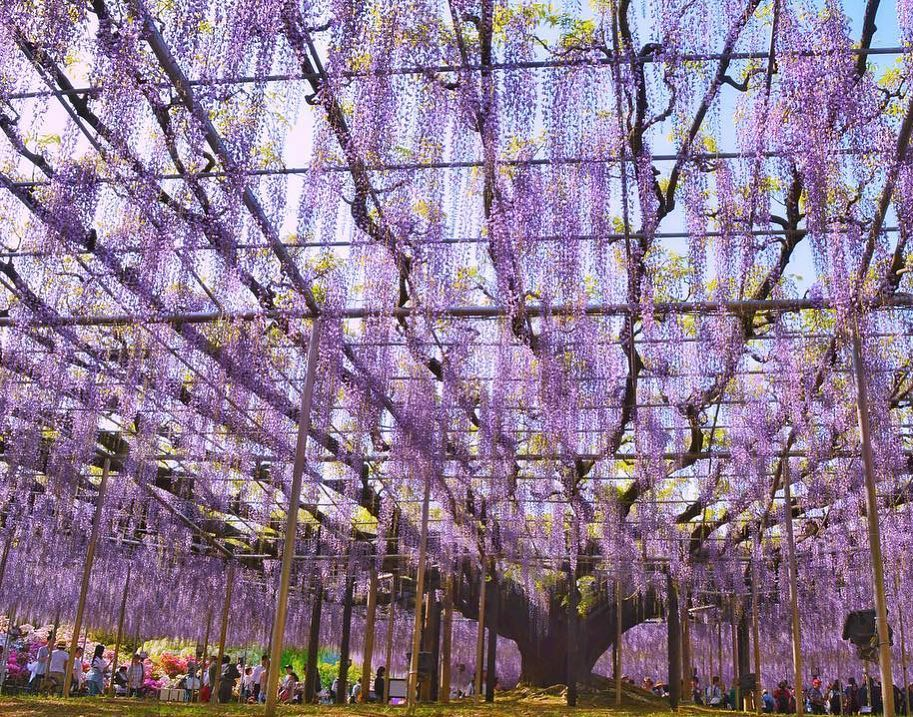 In mid-April, the scent of 350 wisterias begins to fill the Ashikaga Flower Park...