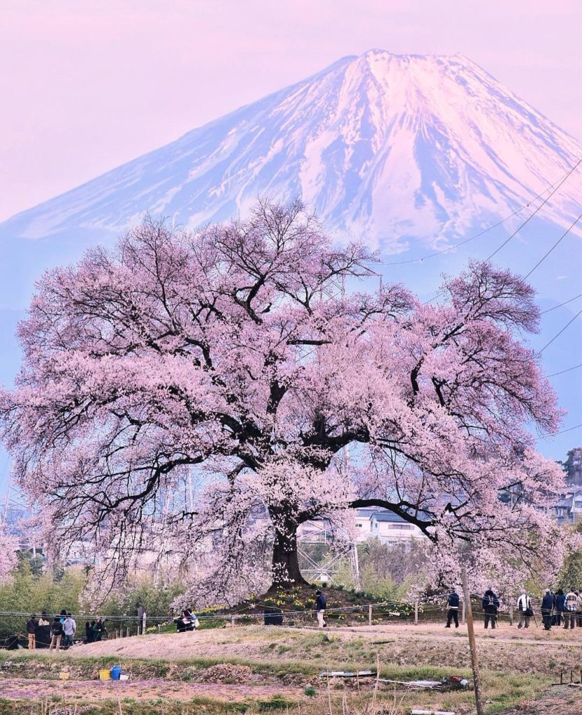 The Jindaizakura tree in Hokuto City, Yamanashi is one of Japan's three great ch...