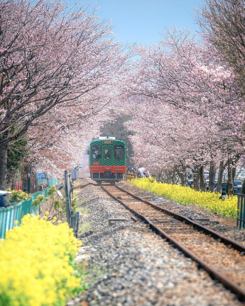 Moka in Tochigi Prefecture is one of the lesser-known sakura spots, with a cherr...