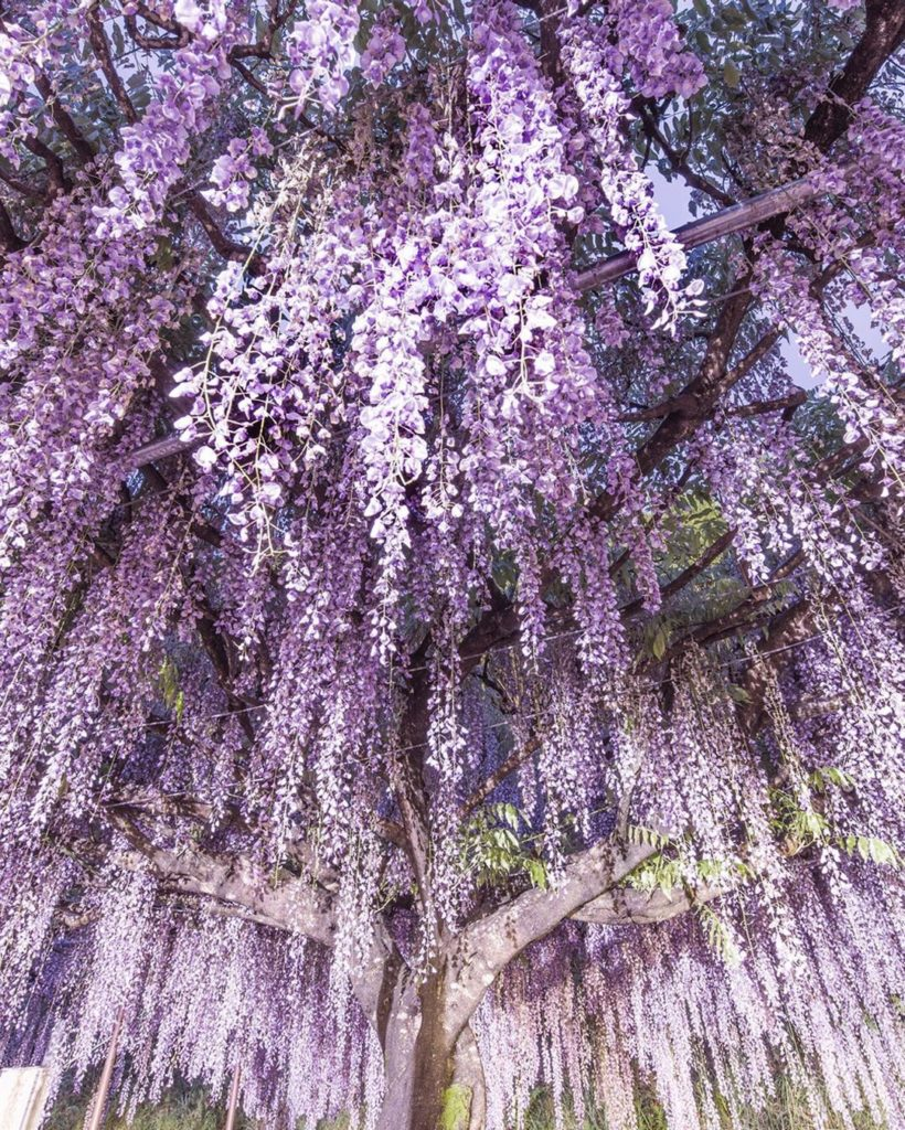 ". This wisteria tree in Hyogo Prefecture, called ""Kyujaku Fuji"", is wrapped in t..."