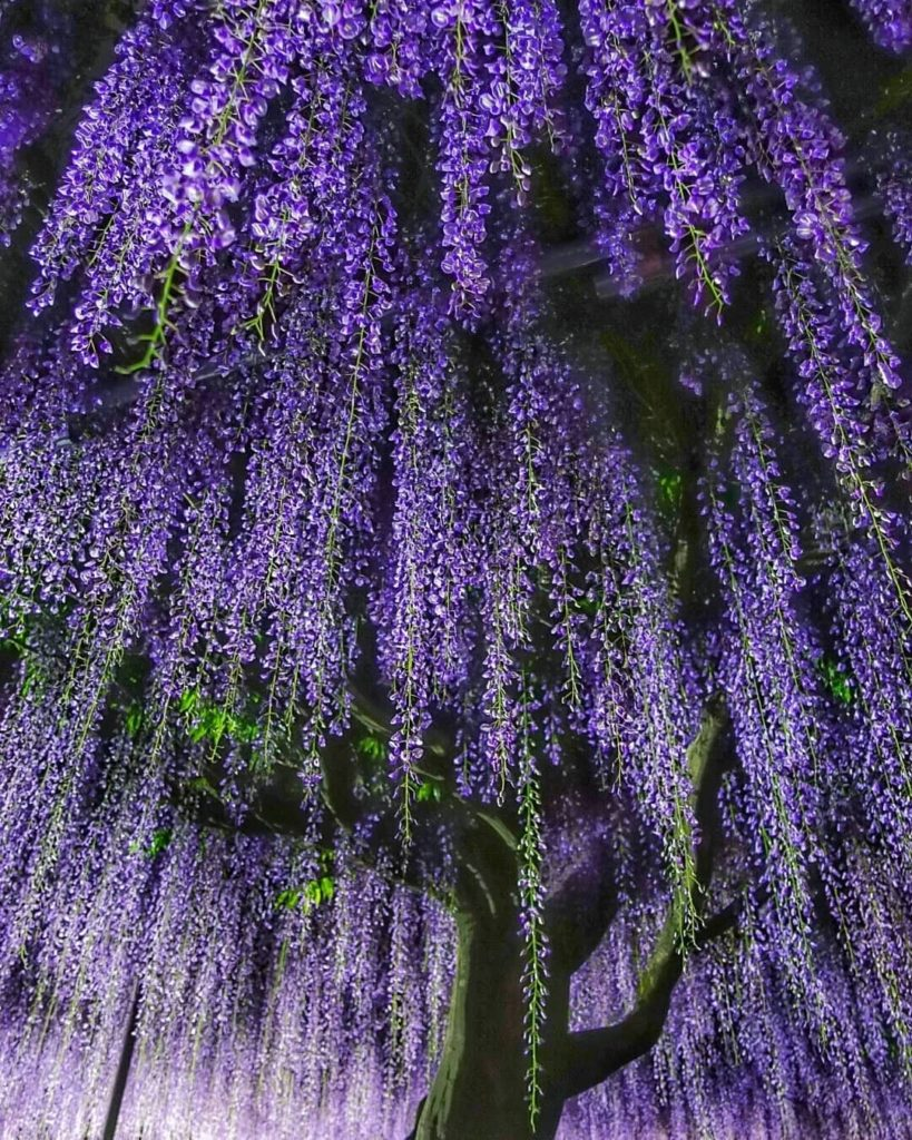 Wisteria season in Japan is drawing to a close, but we couldn't let it slip by w...