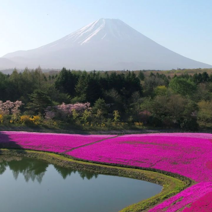 For a few short weeks in April/May each year, the fields aroundMt. Fujiare an...
