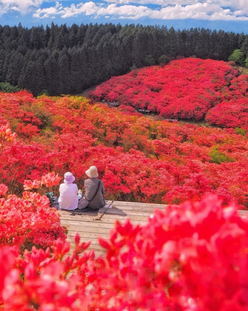 This carpet of azaleas on Mount Katsuragi in Nara is a total dream!  Thanks to @...