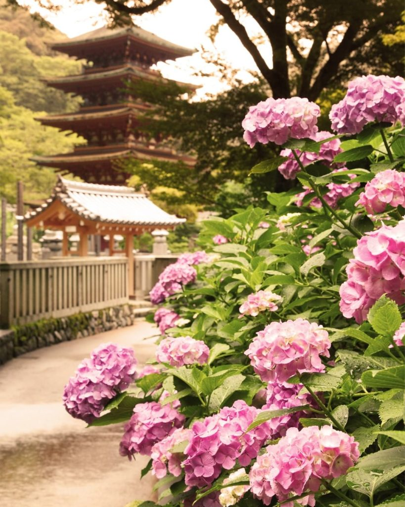 . Hydrangeas shine around the Hase-dera Temple in Nara during the second half of...