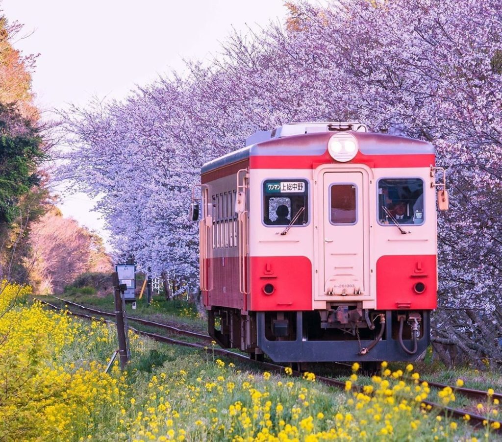 A cute local train making its way around the Boso Peninsula during cherry blosso...