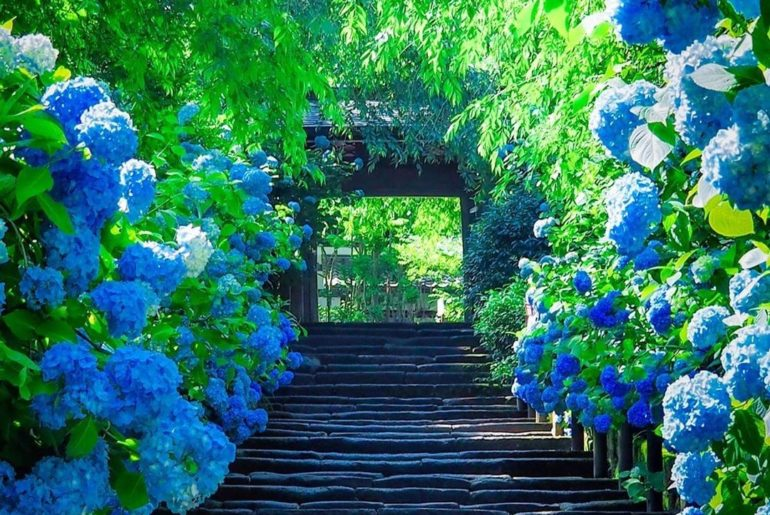 You can't possibly be feeling blue with these views! Kamakura's Meigetsu-in Temp...