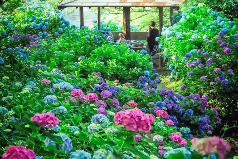Hydrangeas for days in Shimoda! In the past few days the hydrangeas have really ...