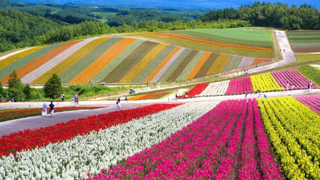 From late April to late October, the colors of Shikisai no Oka's flower fields e...