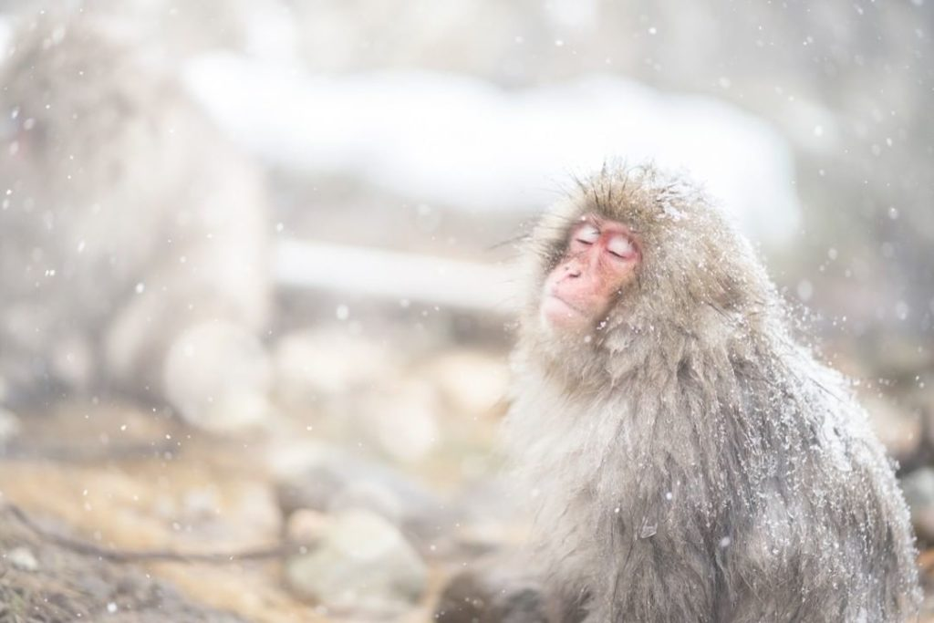 This blissed-out snow monkey is enjoying the hot springs at Jigokudani Snow Monk...