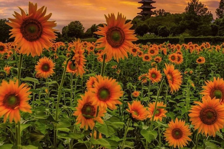 Fields of sunflowers, moody skies, and pagodas on the horizon - a slice of summe...