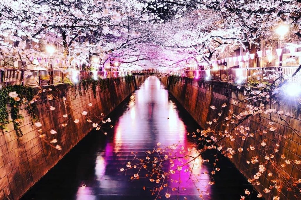 The Meguro River in Tokyo turns into a tunnel of cherry blossoms during the spri...