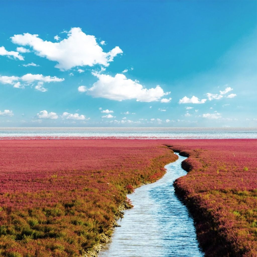 . The scarlet carpet of the Bohai Sea coast in China, best seen in the middle of...