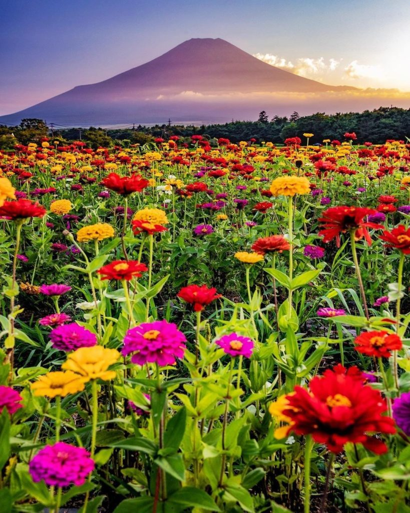 Happiness is a beautiful view of Mt. Fuji and a field full of zinnias!  : @ttkz_...