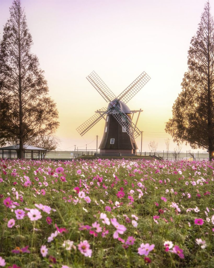 . A lone windmill watches over a field of the aptly-named cosmos flowers. Catch ...