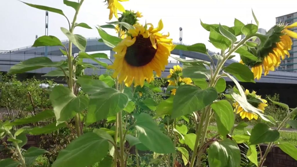 【Japan Trip】【Vlog】I came to see the Toyohira River in Sapporo,Hokkaido,Japan.   CUTE,FLOWER,BEAUTY