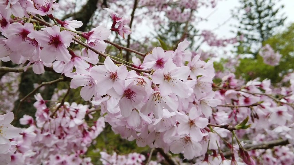 Spring 2019 Cherry Blossoms at Cornwall Park, Auckland, New Zealand