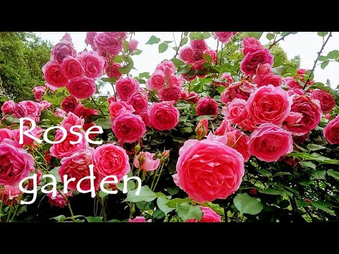 rose garden Kobe nunobiki herb garden Japan travel