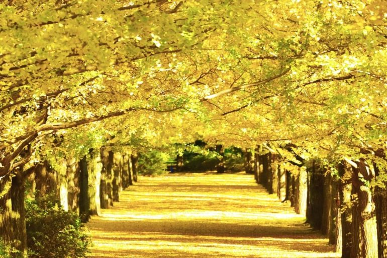 . Ginkgo trees form a beautiful golden tunnel during autumn in Tokyo #UncommonOc...