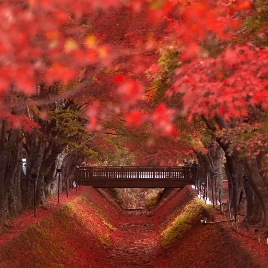 There are no words for the beauty of the Maple Corridor at Lake Kawaguchi.   To ...