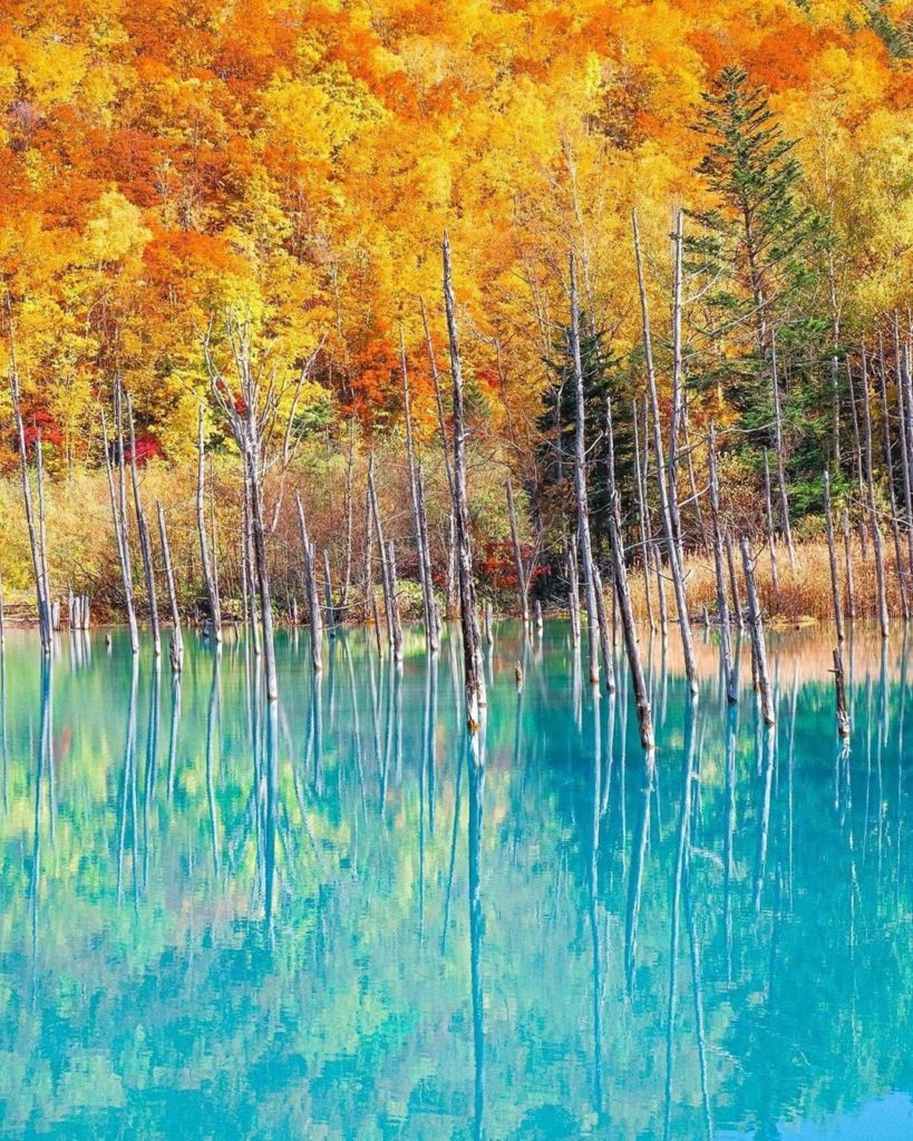 The colors at the Blue Pond in Biei, Hokkaido, are mind blowing right now! @trav...