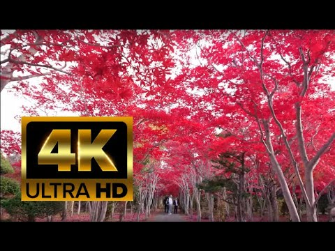 【4K】 Walking in Sapporo, Japan - Under red leaf Maple trees in autumn Part 1.