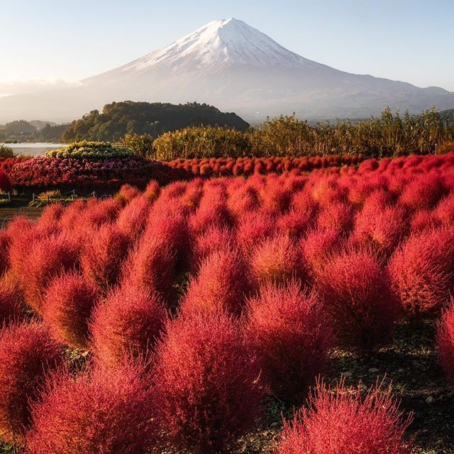 These bright red kochia bushes near the foot of Mount Fuji look completely dream...