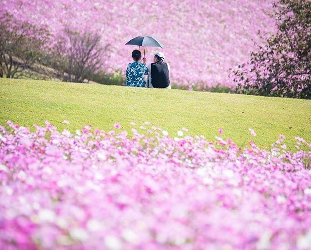 Fall cosmos flowers create a carpet of pink and purple at Awaji Hanasaijiki park...