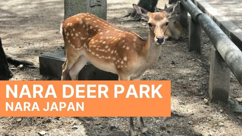 Nara Deer Park | Nara Japan | Walk with me tour