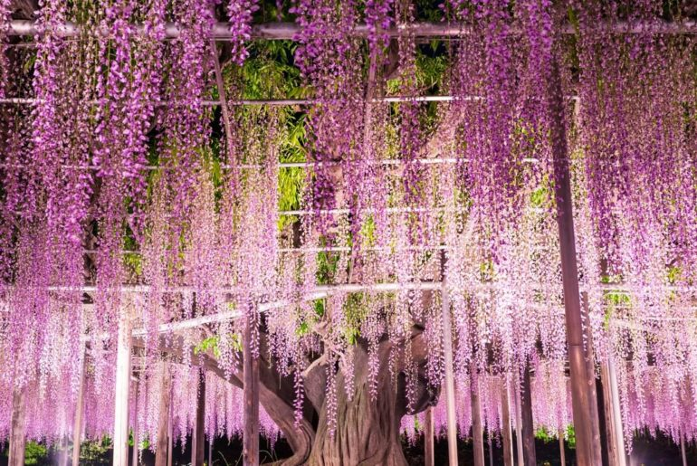 From mid-April to mid-May, Ashikaga Flower Park in Tochigi Prefecture is a visio...