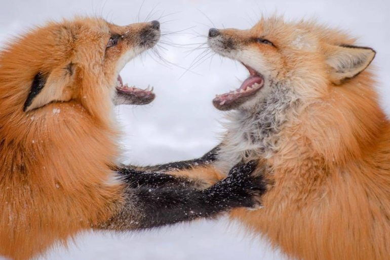 What does the fox say?  We'd love to hear your ideas on a fun caption for this o...